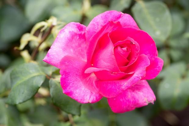 rosa-buxom-beauty-4