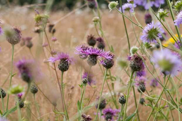 common-or-black-knapweed-centaurea-nigra-2