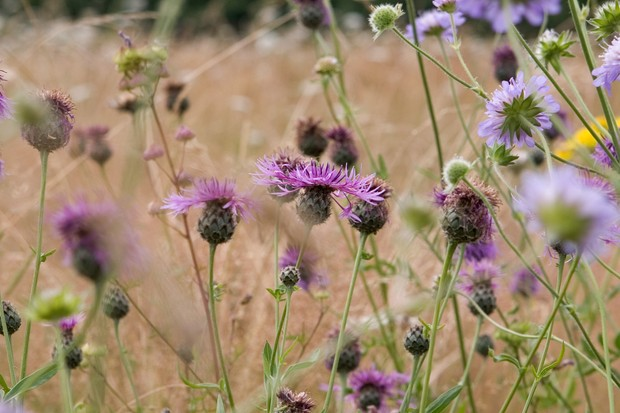 Pink-purple common knapweed flowers