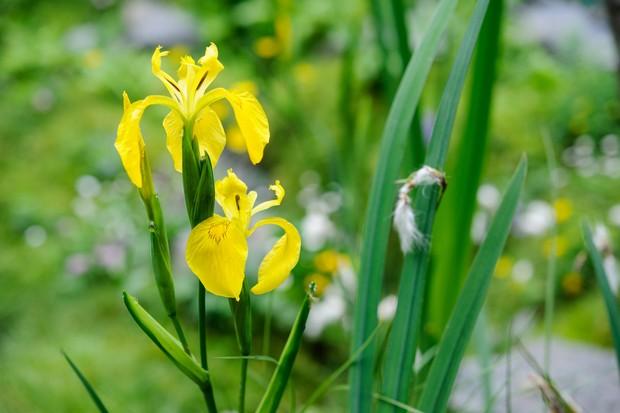 iris-pseudacorus-variegata