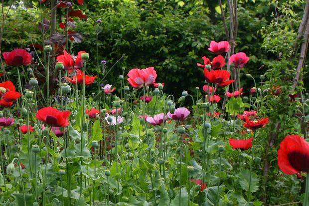 Red and mauve opium poppies