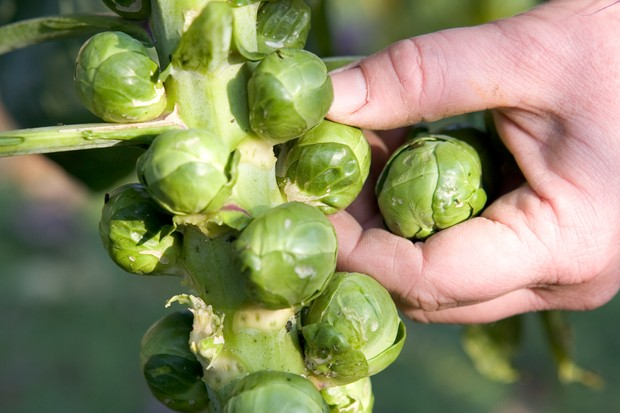 brussels-sprouts-12