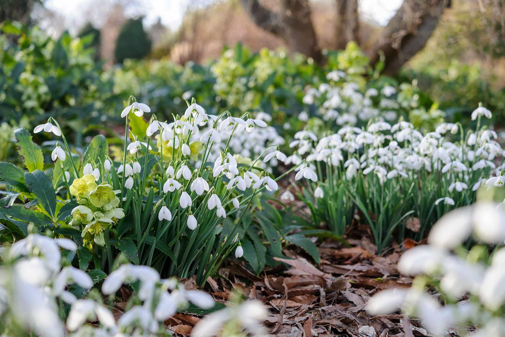 How to establish snowdrops