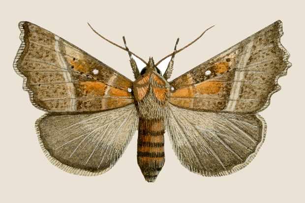 herald-scoliopteryx-libatrix-3