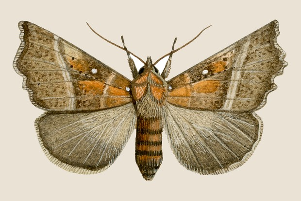 Brown and orange herald moth illustration