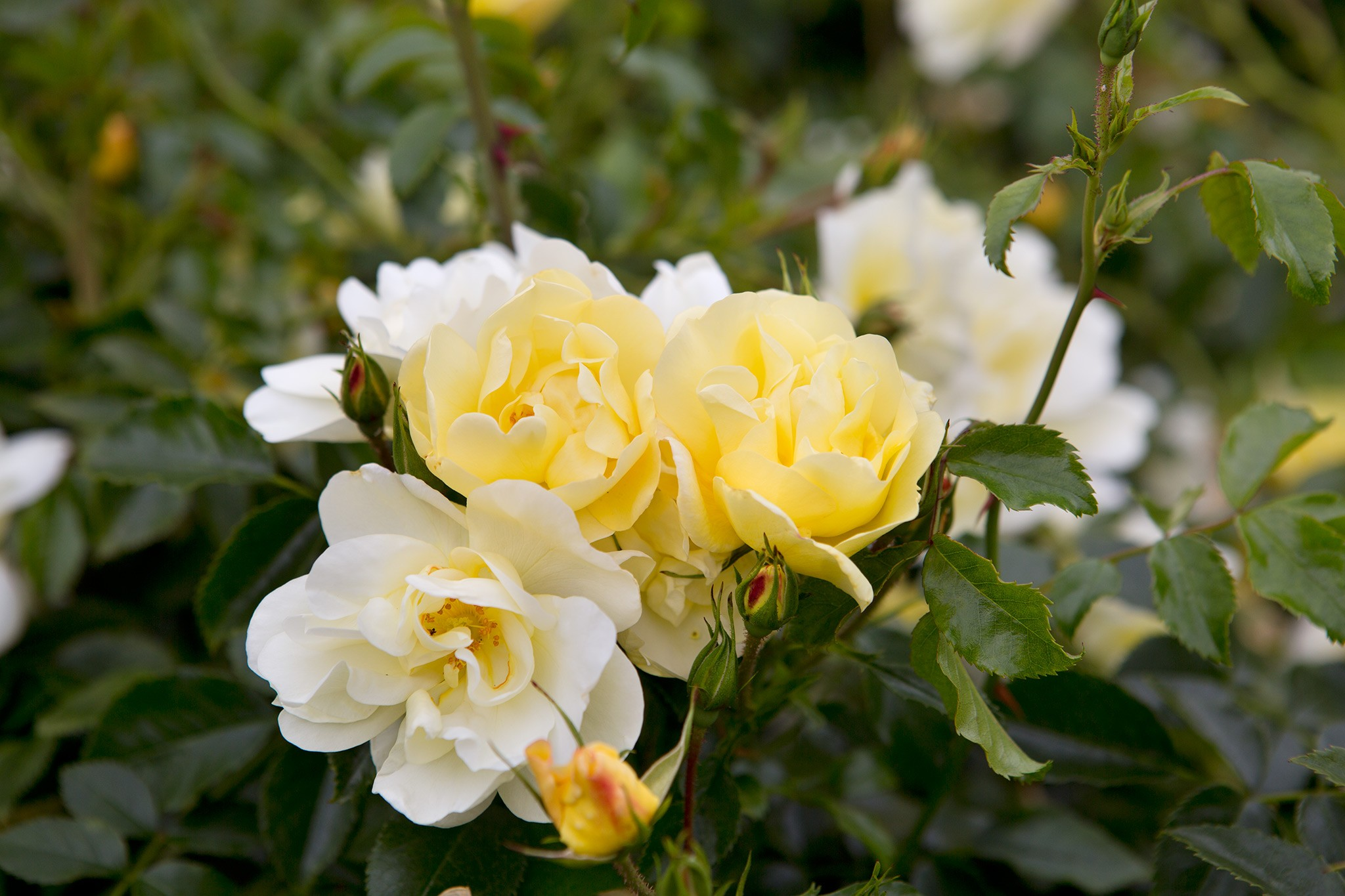Yellow ground cover rose