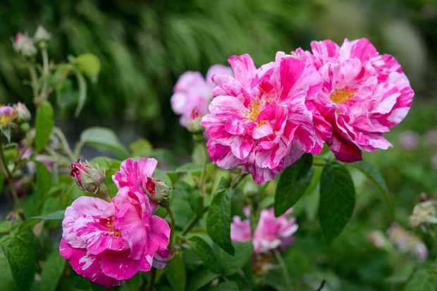 Rosa gallica 'Versicolor'