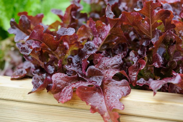 cut-and-come-again-salad-leaves-3