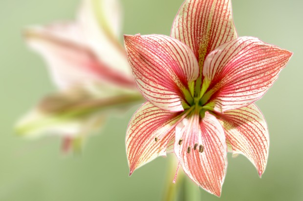 amaryllis-exotic-star-2