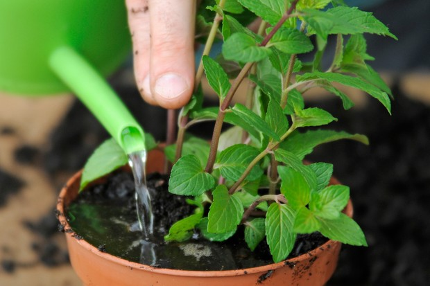 mint-cuttings-in-tray-2