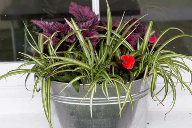 Begonia and spider plant pot display