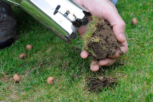 Planting crocus bulbs in a lawn