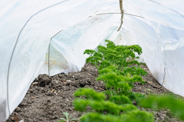 Parsley protected with a cloche