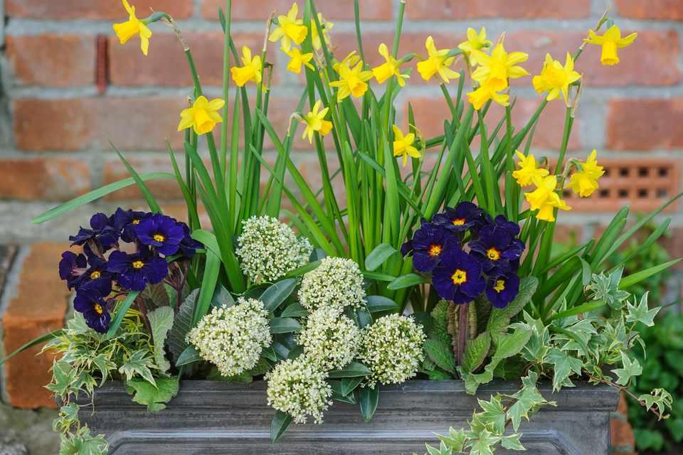 Daffodil and Primula Spring Pot
