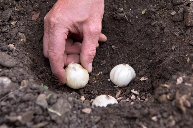 planting-globe-alliums-2