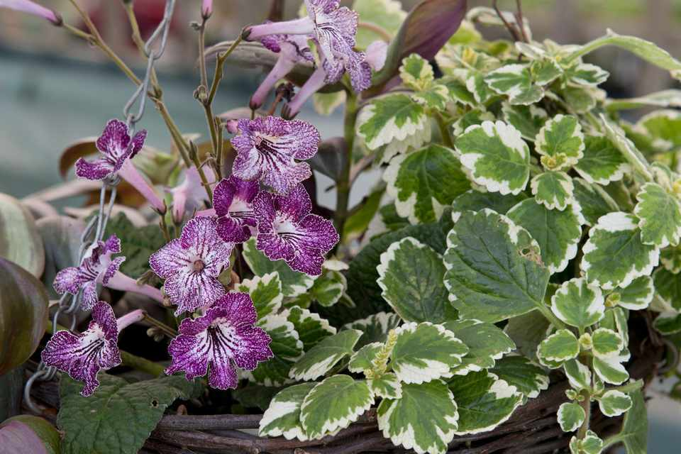 How to plant up an indoor hanging basket