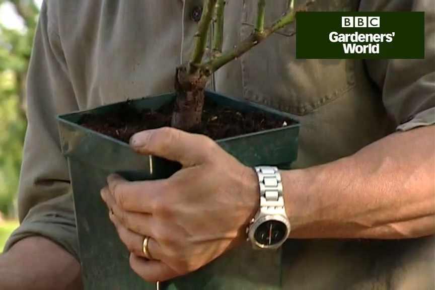 How to plant shrub roses