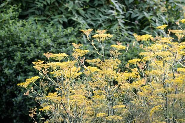 fennel-flowers-8