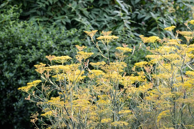 A mass of yellow fennel flowers