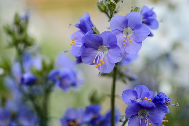 polemonium-in-flower-2