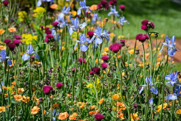 siberian-iris-iris-sibirica-tamberg