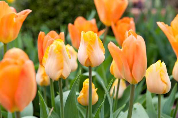Orange tulip 'Bestseller'