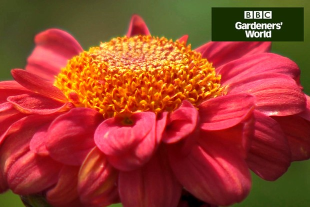 How to plant chrysanthemums in a border