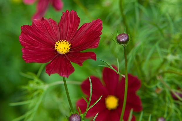 "Deep-red blooms of Cosmos ""Rubenza'"