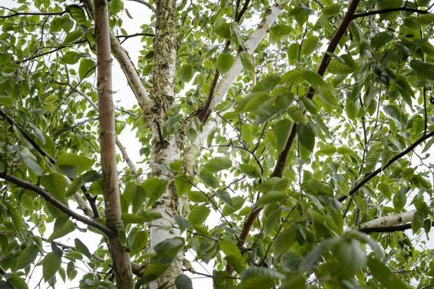 silver-birch-4