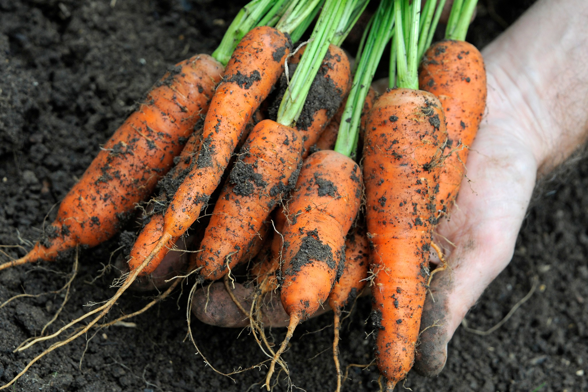 10 Ways to Avoid Carrot Root Fly
