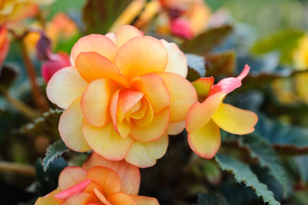 Double blooms of begonia 'Apricot Shades', with pink-edged yellow and orange petals