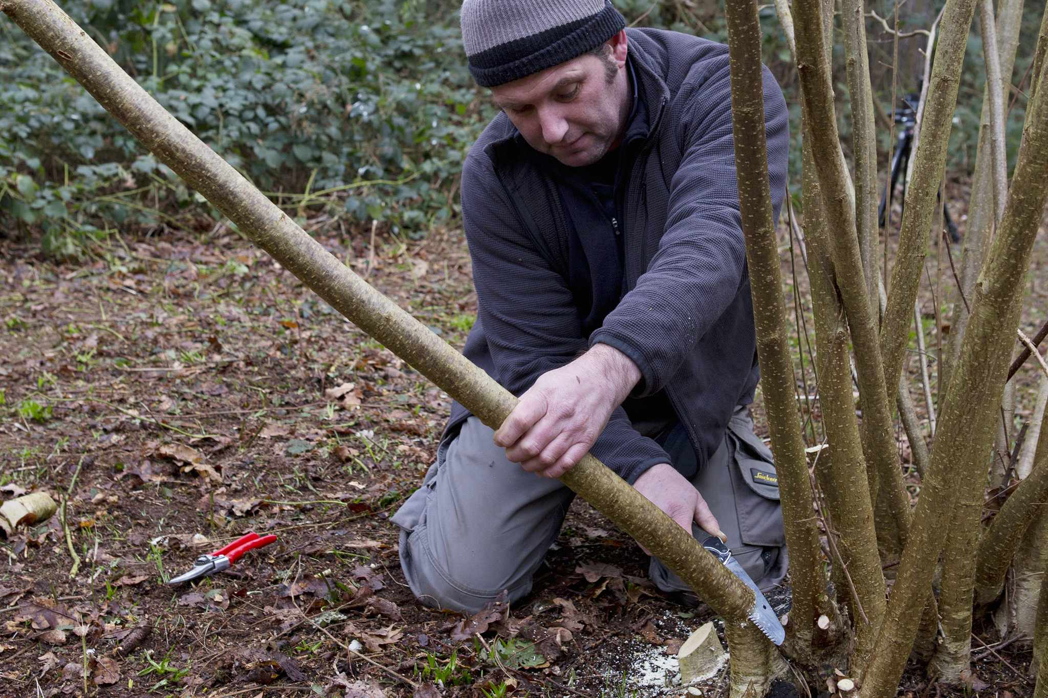 Coppicing hazel (photo credit: Royal Botanic Gardens, Kew)