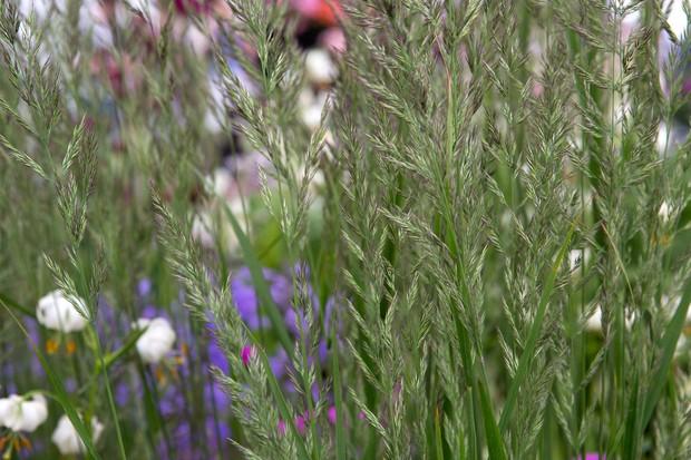 Calamagrostis 'Karl Foerster' flowers