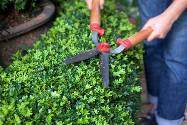 Pruning a box hedge with shears