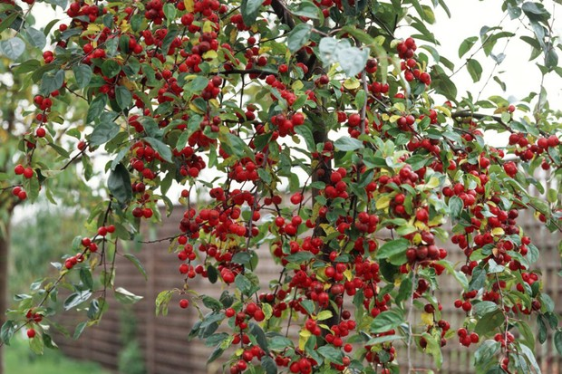 A crab apple tree covered in bright red fruit