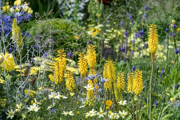 Six summer perennials for august gardenersworld ice queen has white hot blooms while those of nancys red are a more mellow red orange grow in full sun in moist well drained soil mightylinksfo
