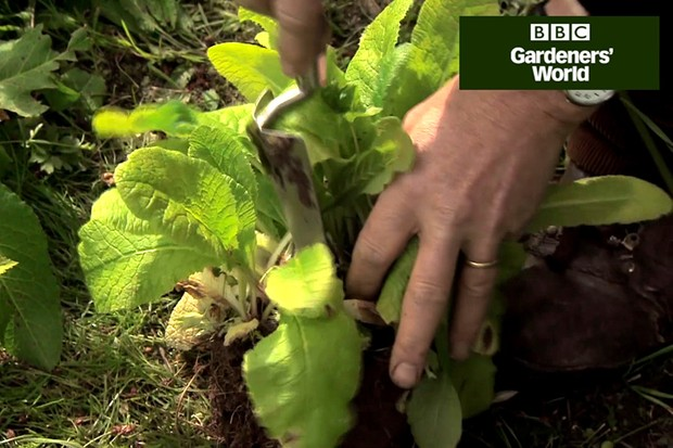 How to lift and divide primroses