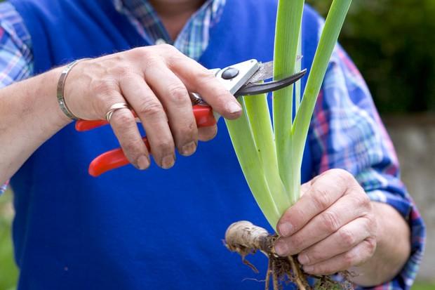 Reducing iris rhizomes by half