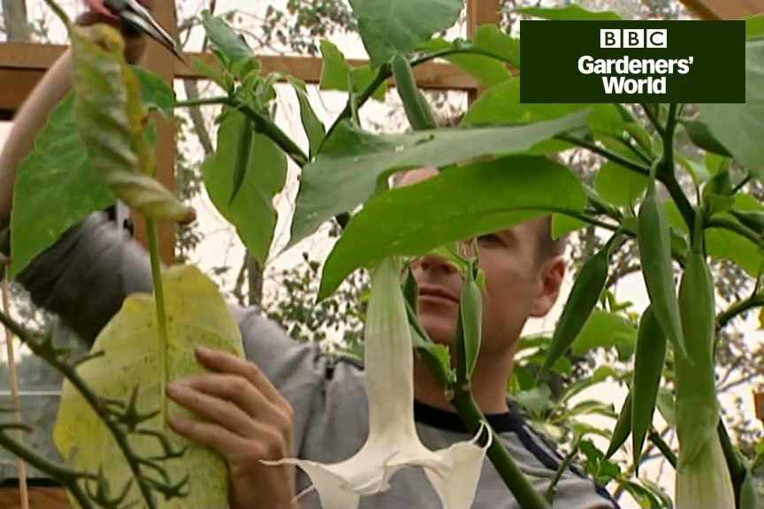 How to take brugmansia cuttings