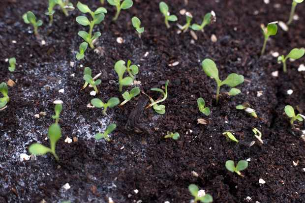 How do I stop seedlings damping off?