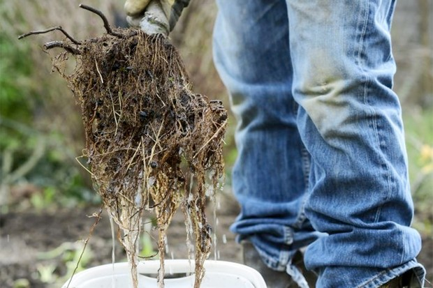 Espalier fruit tree screen - soaking the rootball