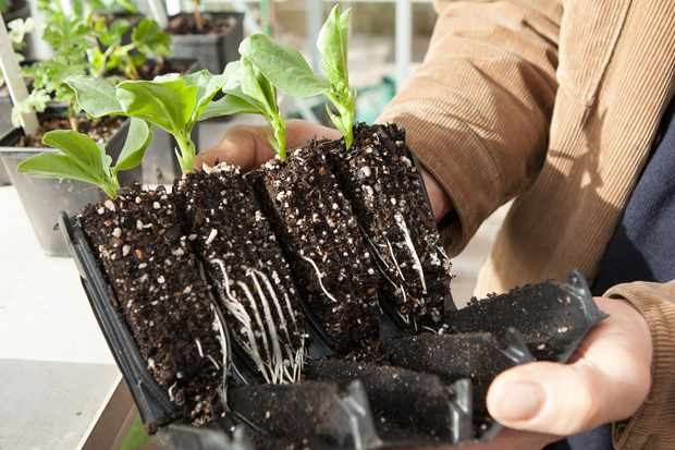 How to sow broad beans indoors