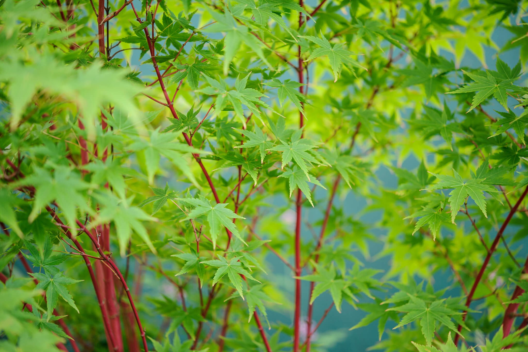 20 Trees for Small Gardens (in Pictures) - BBC Gardeners ...