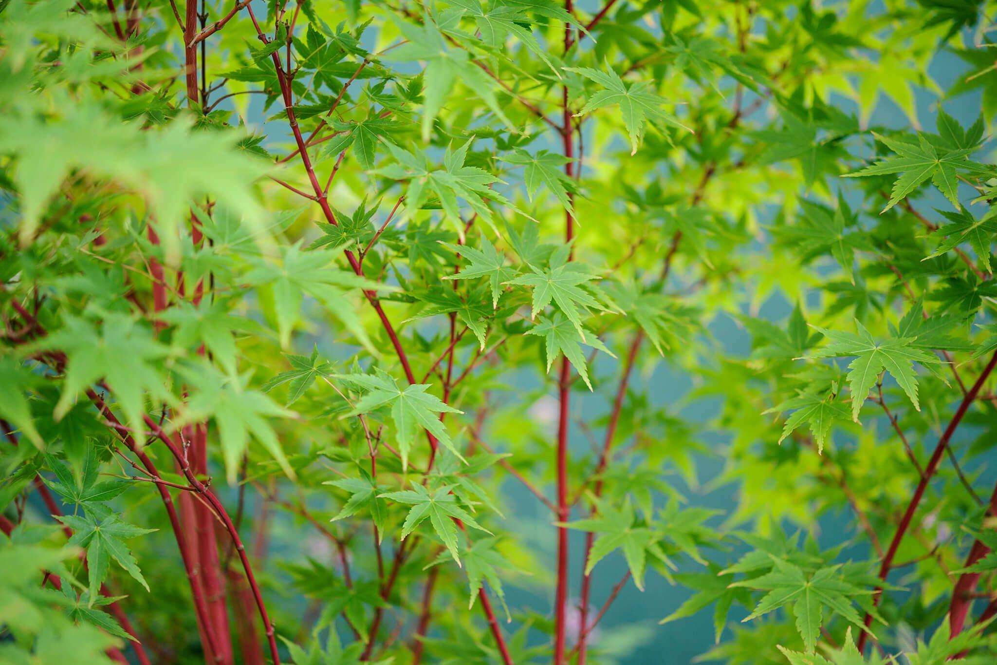 Merveilleux Acer Palmatum Sango Kaku 2