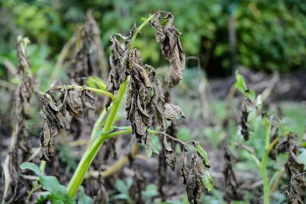 damage-to-leaves-blight-2