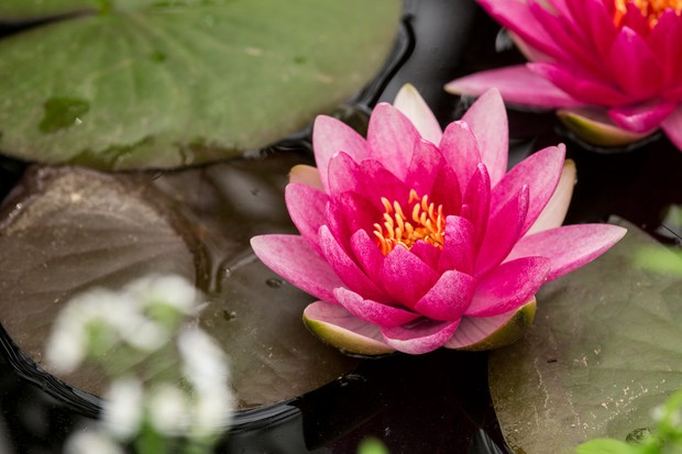 White-streaked, deep-pink flowers of waterlily Nymphaea 'Rembrandt'
