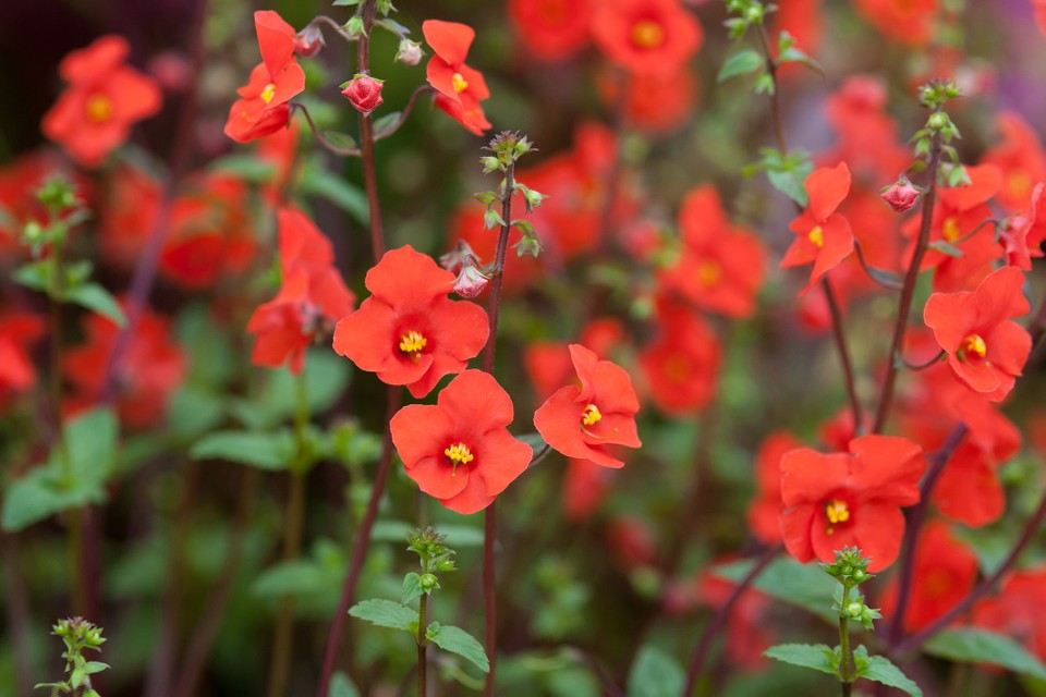 Best Plants With Red Flowers Bbc Gardeners World Magazine