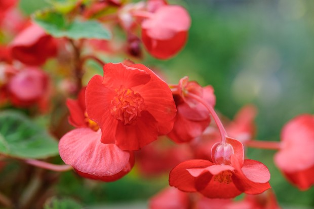Orange-red blooms of begonia 'Flamboyant'