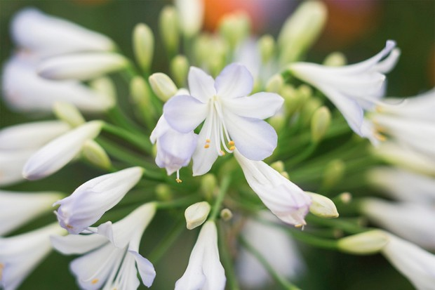Blue-tinged, white flowers of agapanthus 'Silver Baby'