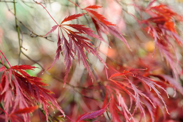 Highly-sculpted red foliage of Japanese maple